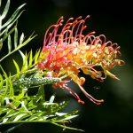 Grevillea | Varietà diverse, bellissime fioriture: la coltivazione