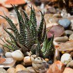 Haworthia | Piccola pianta grassa di facile coltivazione