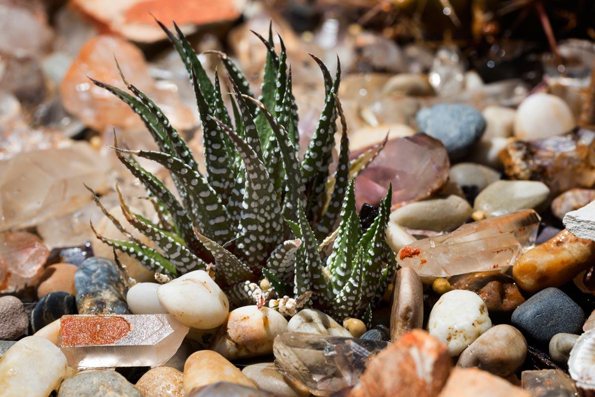 Piante Grasse Da Esterno pianta di haworthia fasciata succulente piante grasse