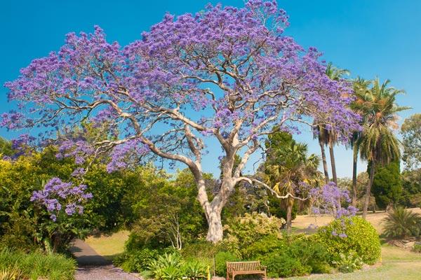 Jacaranda l 39 albero fiorito per eccellenza - Viali da giardino ...