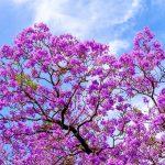 Jacaranda | L'albero fiorito per eccellenza