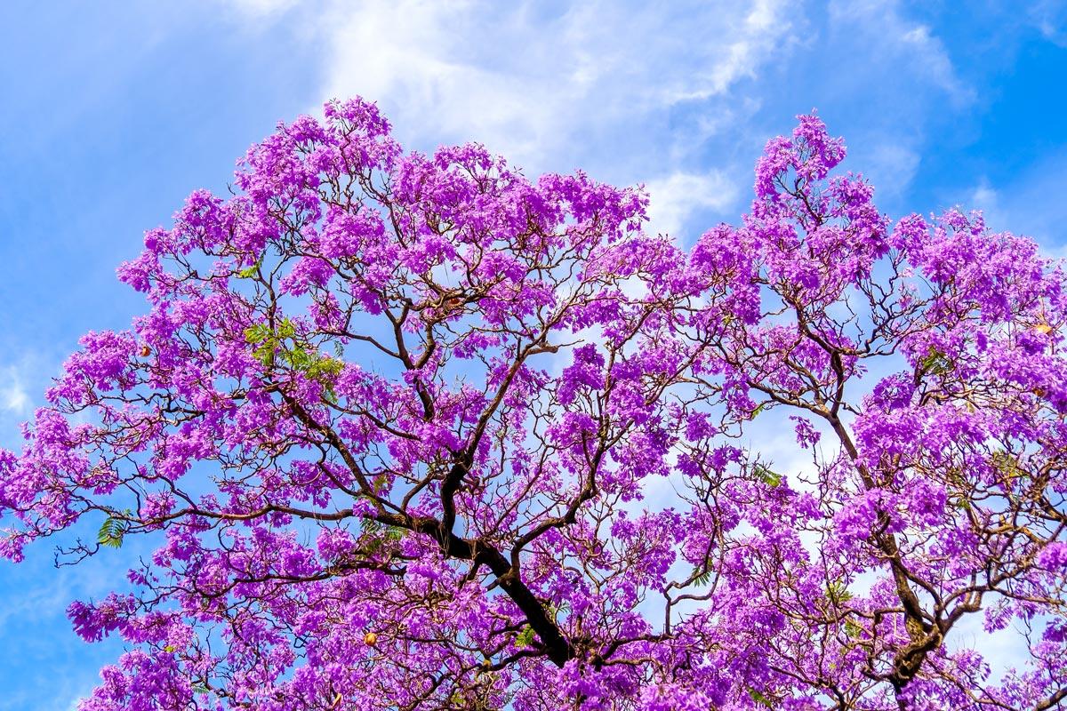 Alberelli da giardino fioriti elegant gli arbusti fioriti for Alberelli per giardino
