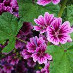 Malva | Erbacea dai fiori viola: coltivazione e proprietà