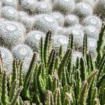 Mammillaria | Piccola cactacea: varietà e coltivazione