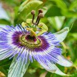 Passiflora | Il frutto della passione che combatte l'insonnia