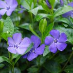 Pervinca | I fiori blu: varietà e coltivazione