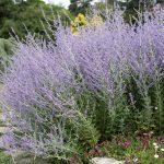 Perovskia | Erbacea dal profumo di salvia: la coltivazione