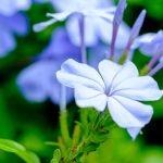 Plumbago | Il gelsomino azzurro: ecco come coltivarlo