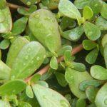 Portulaca | Varietà e fiori di una pianta ricca di Omega-3