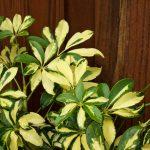 Schefflera | Le differenze tra varietà e coltivazione