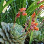 Sempervivum | Piante grasse succulente resistenti e di facile cura