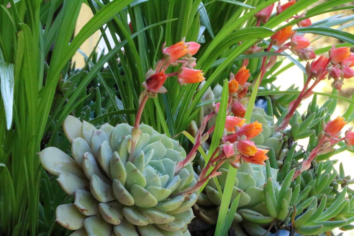 Sempervivum piante grasse succulente resistenti e di - Piante striscianti per scarpate ...