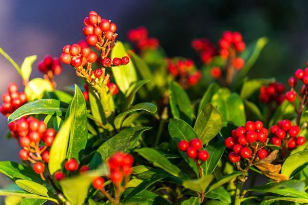 Skimmia decorativa in inverno variet e coltivazione for Skimmia pianta