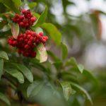 Skimmia | Decorativa in inverno: varietà e coltivazione