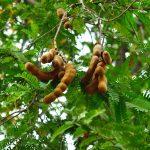 Tamarindo | I frutti e le proprietà di un albero secolare