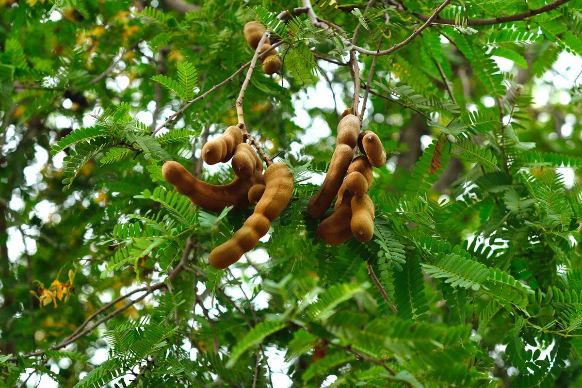 Tamarindo i frutti e le propriet di un albero secolare for Alberi frutta vendita