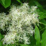Orniello | La varietà più ornamentale del genere Fraxinus