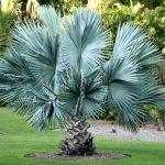 Brahea | La palma blu del Messico: impariamo a coltivarla