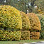 Carpinus betulus | Come coltivare il carpino bianco?