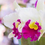 Cattleya | Orchidee unifoglie e bifoglie