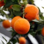 Chinotto | Usi, proprietà e coltivazione della Citrus myrtifolia