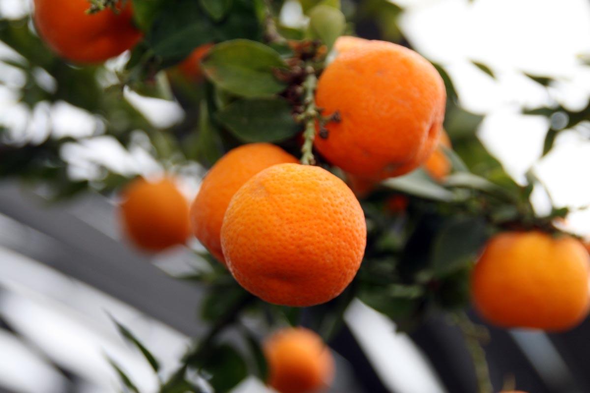 Chinotto usi propriet e coltivazione della citrus for Citrus myrtifolia