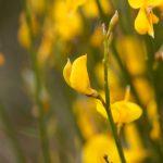 Cytisus | La ginestra dei carbonai: ecco come coltivarla