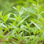 Erba Luigia | Forma e coltivazione della cedrina