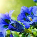 Genziana | Varietà, coltivazione e usi