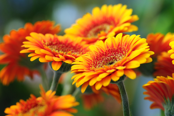 Gerbere ideali fiori recisi colori e coltivazione for Fiori gerbere