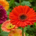 Gerbere | Ideali fiori recisi: colori e coltivazione