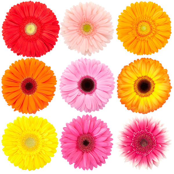 gerbere colori