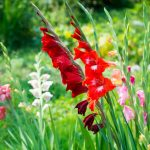Gladioli | Forme spontanee e ibridi di svariati colori