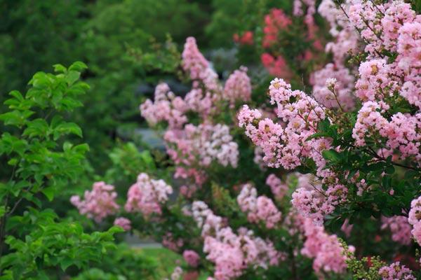 Lagerstroemia graziosi arbusti dai bellissimi fiori for Arbusto dai fiori rosa e bianchi