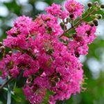 Lagerstroemia | Graziosi arbusti dai bellissimi fiori