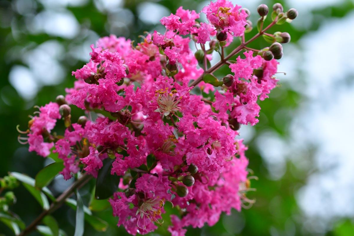 lagerstroemia graziosi arbusti dai bellissimi fiori