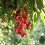 Litchi | I frutti, le proprietà e la coltivazione del ciliegio cinese