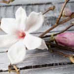 Magnolia stellata | Approfondimento