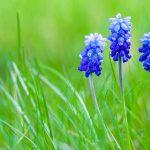 Muscari | Bulbose primaverili dai fiori blu