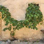 5 rampicanti e arbusti per muri all'ombra