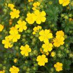 Potentilla | Lunga fioritura per rallegrare il giardino