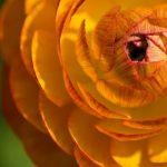 Ranuncolo | Coltivazione e varietà