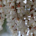 Robinia pseudoacacia | Coltivazione e struttura