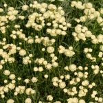 Santolina | Un genere di arbusti di facile coltivazione