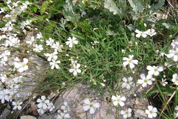 Gypsophila Il Fiore Nella Nebbia O Velo Di Sposa La Coltivazione