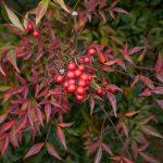 Nandina domestica | Fiori bianchi e bacche rosse in autunno