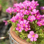 Acetosella | Fiore delizioso e ideale per bordure e aiuole