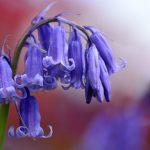 Campanule | I bellissimi fiori a campanella: la coltivazione