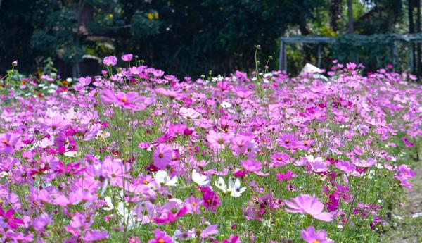 Cosmos fiori