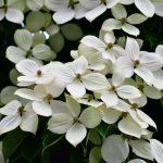 Corniolo | I frutti e la fioritura di un albero che annuncia la Primavera